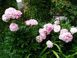 Peony -ms- fresh blooms
