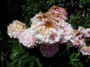 Peony - ms2- fading blooms