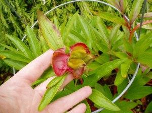 Peony -cu- summer seed pod