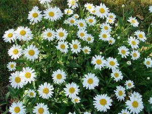 shasta daisy - flower grouping