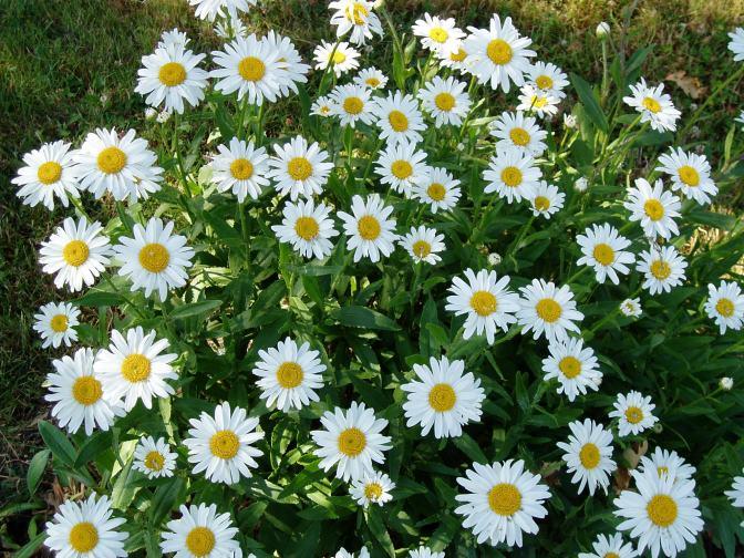 shasta daisy - flower grouping garden Victoria BC Pacific Northwest