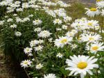 Shasta Daisy - happy blooms garden Victoria BC Pacific Northwest