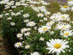 Shasta Daisy - happy blooms garden Victoria BC Pacific Northwest