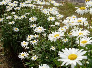 Shasta Daisy - happy blooms