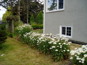 Shasta Daisy - row along south wall
