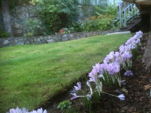 PS' row of colchicum, fall crocus, garden Victoria, Vancouver Island, BC, Pacific Northwest