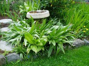 ms - spring colchicum circling the birdbath garden Victoria, Vancouver Island, BC, Pacific Northwest