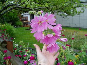 ms- lavetara in bloom