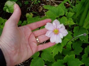 CU - Japanese Anemone bloom