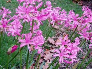 MS - Nerine Lily blooms, garden Victoria, Vancouver Island, BC Pacific Northwest