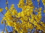 cu - forsythia in bloom, garden Victoria, Vancouver Island, BC, Pacific Northwest