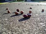 gary oak acorns, Victoria BC garden