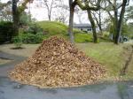 gary oak leaves