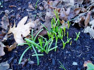 grape hyacinth leaves starts up in December