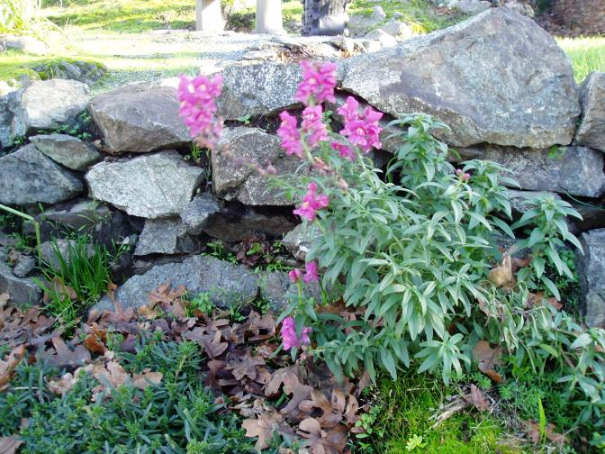 December snapdragon, (Antirrhinums ), garden Victoria, Vancouver Island, BC, Pacific Northwest