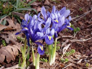 iris reticulata, reticulated iris, dwarf iris garden Victoria, Vancouver Island, BC, Pacific Northwest