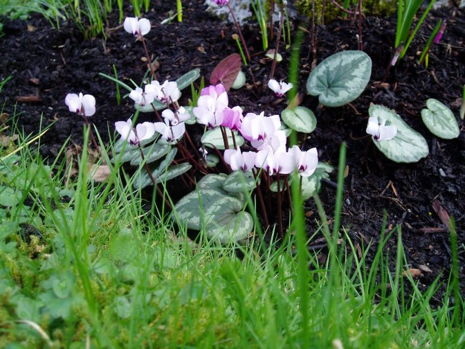Cyclamen coum, eastern cyclamen garden Victoria, Vancouver Island, BC, Pacific Northwest