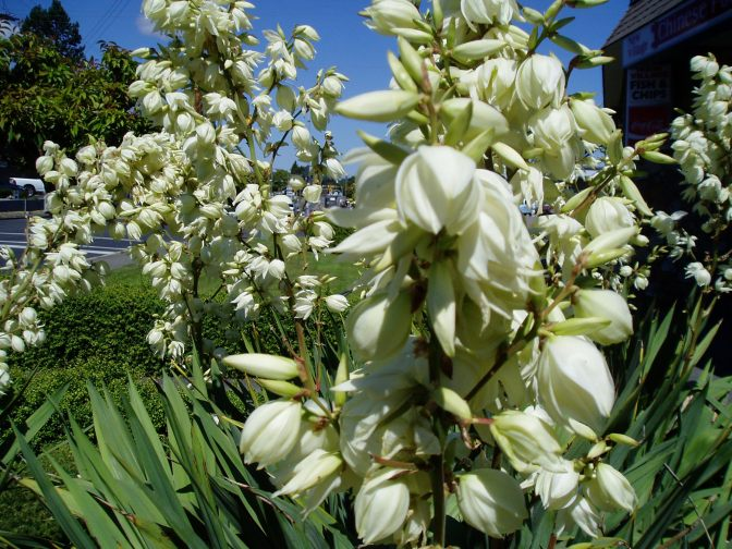 Yucca bloom, ms, garden Victoria, Vancouver Island, BC, Pacific Northwest