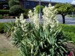 Yucca in bloom garden Victoria BC