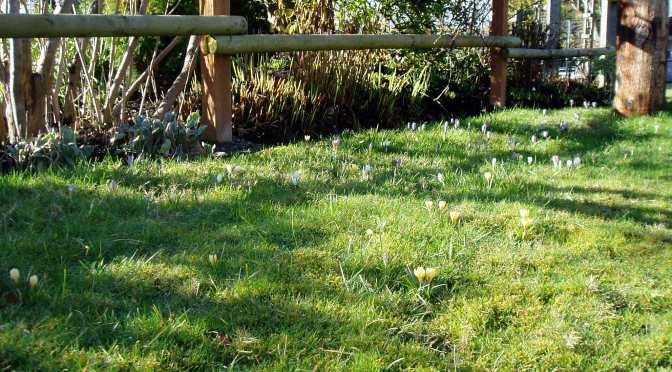 Meadow Blooms 1 – Crocus