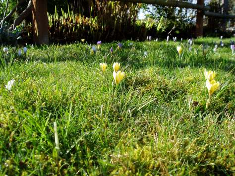 Crocus in lawn 2013