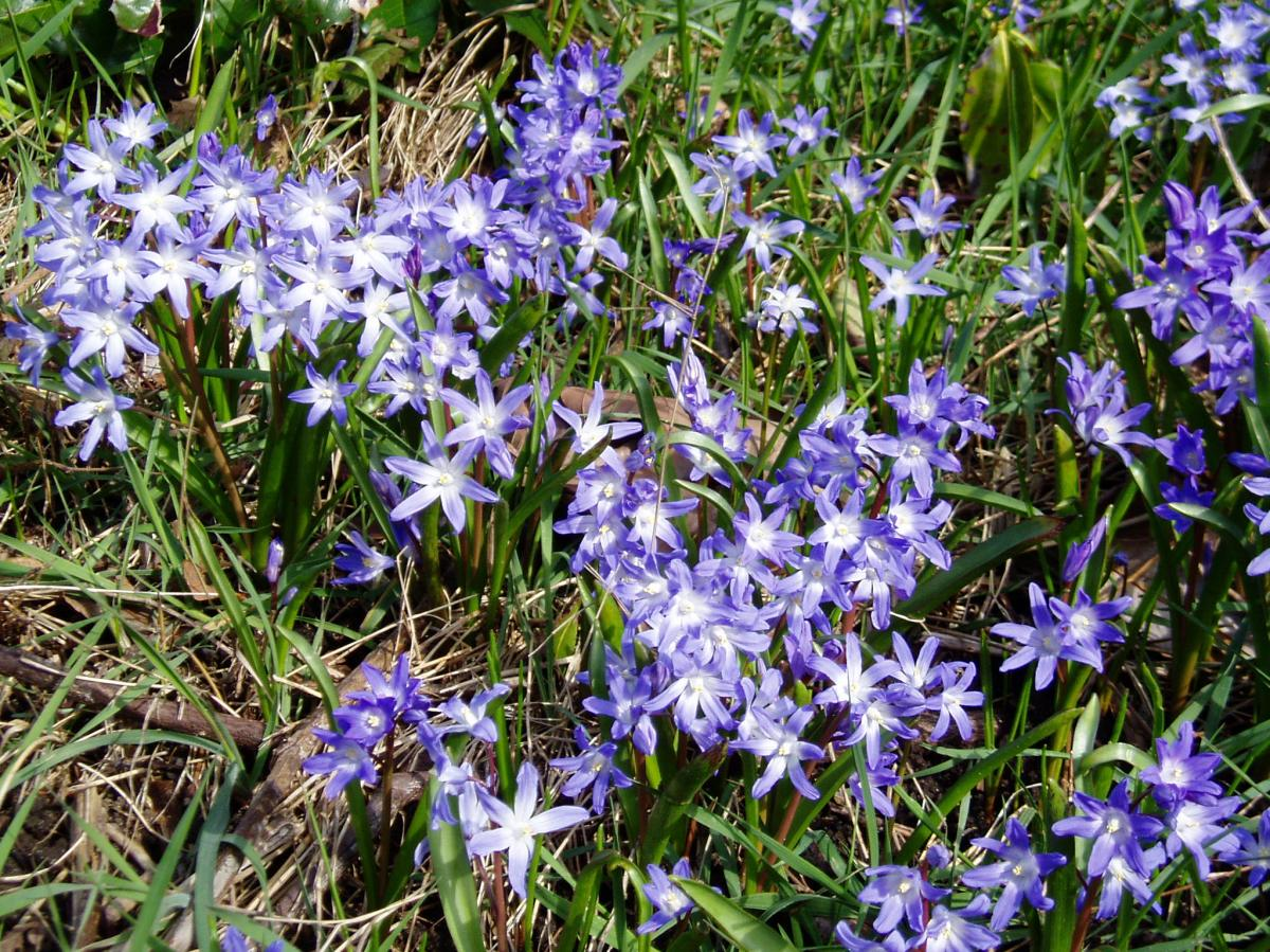 Meadow Blooms 2 - chionodoxa