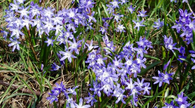 Meadow Blooms 2 – chionodoxa
