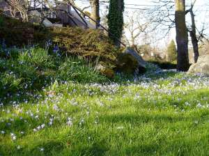 Chionodoxa - Glory of Snow meadow behind Dunlop House