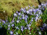 Chionodoxa - Glory of Snow in rock crevice