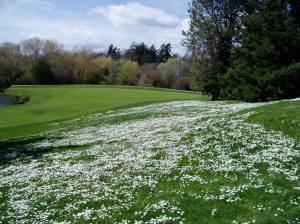 English Daisy meadow WSO
