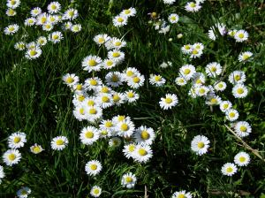 English Daisy meadow CU