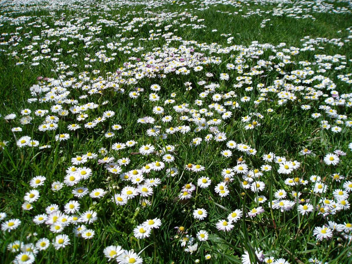 Meadow Blooms 3 - daisy