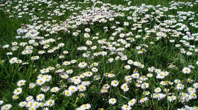 Meadow Blooms 3 – daisy