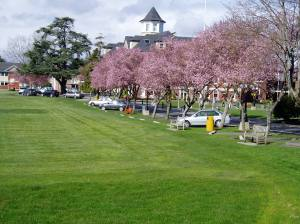 cherry blossoms at St.Micheal's