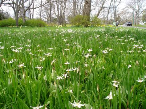 Fawn Lily meadow at Beacon Hill Park