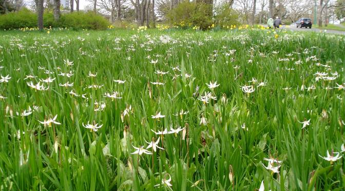 Meadow Blooms 4 – Fawn Lily