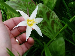 Fawn Lily bloom & leaf CU