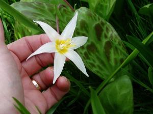 Erythronium Oregonum Fawn Lily bloom & leaf CU, garden Victoria, Vancouver Island, BC, Pacific Northwest