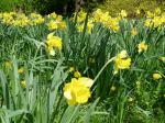 daffodils 3, Narcissus garden Victoria, Vancouver Island, BC, Pacific Northwest