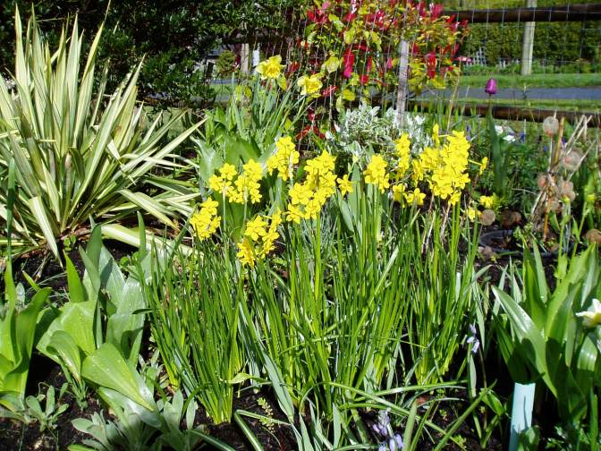 multi-blooming daffodils, Narcissus garden Victoria, Vancouver Island, BC, Pacific Northwest