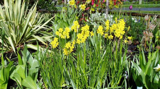 My Happy Daffodil Campaign