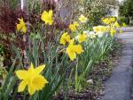 daffodils Narcissus around Mt. Tolmie, garden Victoria, Vancouver Island, BC, Pacific Northwest