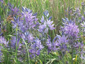camas blooms cu garry oak meadow garden Victoria BC