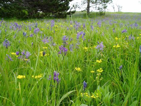 Camas Meadow - Beacon Hill Park 3