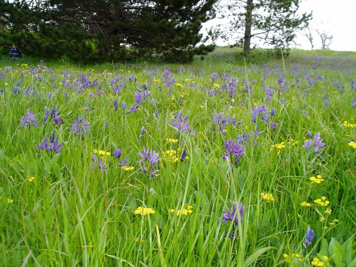 Meadow Blooms 5 - Camas