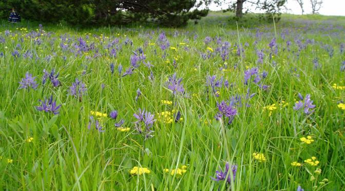 Camas Meadow cammasia, spring gold LOMATIUM UTRICULATUM - Beacon Hill Park 2