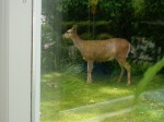 sharing our garden with deer