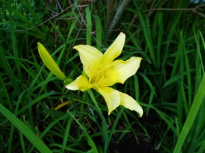 spring blooming Daylily