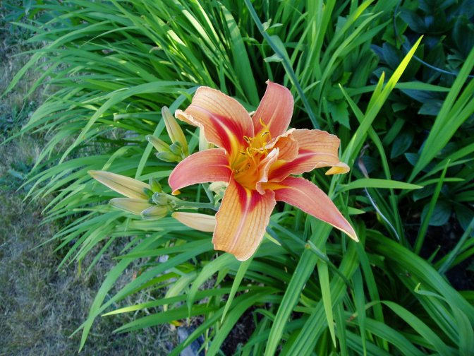 Let there be Day Lilies