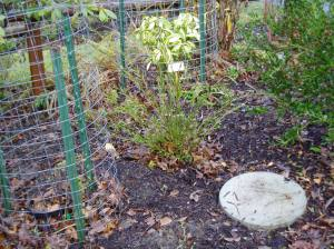 recovering bottlebrush Callistemon garden Victoria BC Pacific Northwest